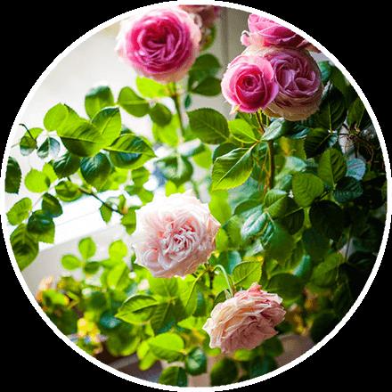 Гибридные Королевские розы купить в Абане